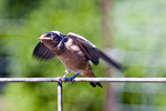 Young barn swallow spreads its wings as it waits to be fed.