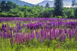 Wild Lupine grows in a meadow in Sugar Hill, NH