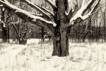 Tree in black and white in a pasture of snow