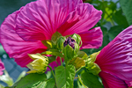 This hibiscus bud and flower grow on the Bridge of Flowers in Shelburne Falls, MA