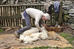 Sheep shearer shearing a sheep at Coggeshall Farm