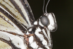 Rice Paper butterfly close-up