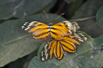 Two Isabella Tiger Longwing Butterflies