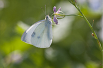 Small Cabbage White on a flower