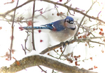 Blue Jay in a crab apple tree in winter