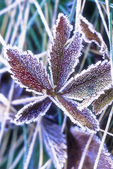 Leaf covered in frost