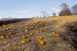 Pumpkins laying in the field ready for harvest