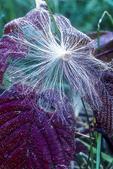 Milkweed seed pod blown on to a leaf