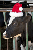 Cow wearing a red elf's hat at Christmas time