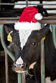 Cow wearing a red elf's hat at Christmas time #2