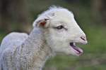 Lamb with something to say....