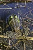 Rear view of a bullfrog
