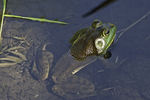 Bull frog in a shallow pond