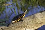 Painted turtle sitting on a log