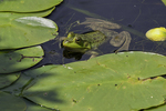 Bullfrog and lily pads