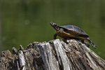 Painted turtle stuck on the top of a stump in Tully Lake (it was able to finally get down to the water)