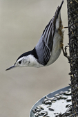 White-breasted nuthatch on a sunflower seed feeder