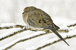 Mourning dove sits on a smow covered branch