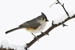Tufted titmouse on a snow covered branch