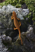 Eastern newt on a rock