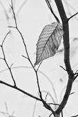 Lone beech leaf