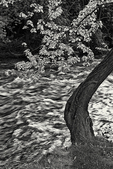 Curved tree over the Ashuelot River in Ashuelot, NH (black and white)