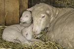 Ewe with her two newborn lambs