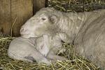 Ewe with her head on her lamb