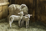 Ewe with two lambs in the barn