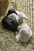 Three bottle fed lambs taking a nap together