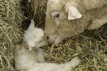 Sheep checking on her day old lamb