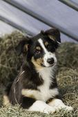 Australian shepherd puppy - 4 months old
