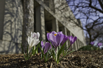 Crocus sprouting up at the Worcester Art Museum