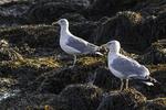 Herring gulls standing on seaweed covered rocks