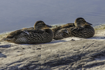 Two mallard ducks sitting on a rock