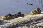 Three mallard ducks sitting on a rock