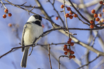 Black capped chickadee sitting in a crab apple tree