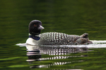 Common loon swimming in Willard Pond, NH