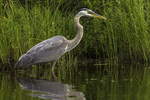 Great blue heron at Tully Lake in Royalston, MA