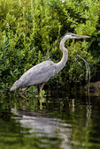 Verticle photograph of a great blue heron