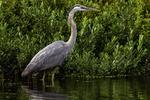 An alert great blue heron