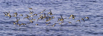 Sandpipers flying in a flock over the water