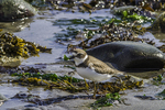 Semipalmated plover on the beach at low tide.