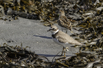 Semipalmated plover and a sandpiper on the beach