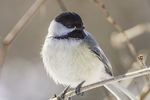 Chickadee in a tree