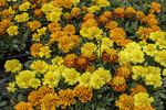 A bunch of marigolds