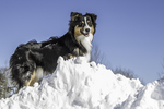 An Australian Shepherd having a great time in the snow