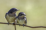 Two baby barn swallows
