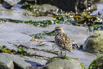Sandpiper at Rei State Park in Maine