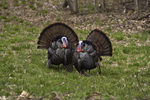 Two male turkeys